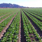 Select Seed of Arizona romaine lettuce field