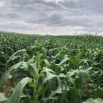 Corn fields2 Select Seed of Arizona