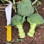 broccoli samples2 Select Seed of Arizona