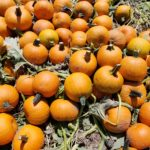 pie pumpkin samples Select Seed of Arizona