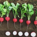Select Seed of Arizona Radishes