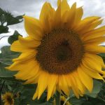 Select Seed of Arizona_sunflower