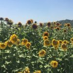 Select Seed of Arizona_sunflowers
