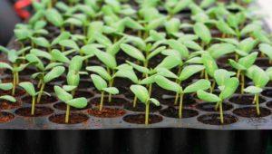 Select Seed of Arizona Seed Tray