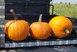 Bellatrix pumpkin seeds, Select Seed of Arizona