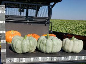 Blue Doll Pumpkin Seed, Select Seed of Arizona