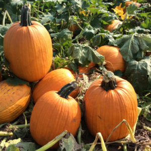 Captain Jack Pumpkin Seeds - Select Seed of Arizona