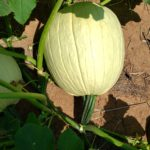 White Pumpkin, seed from Select Seed of AZ