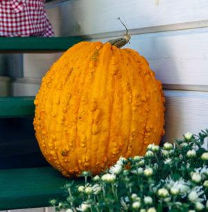 bunch o warts pumpkin