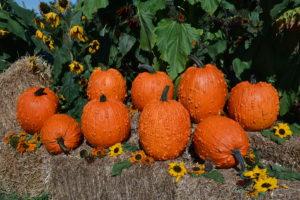 bunch o warts pumpkin seed