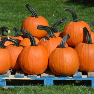Benchmark pumpkin seed variety