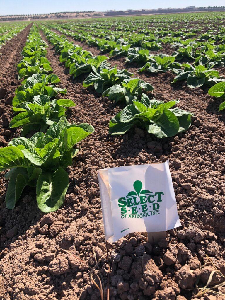 Lettuce Fields 2020