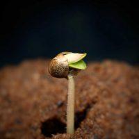 Cannabis-Seed-Germination-1024x815.jpg